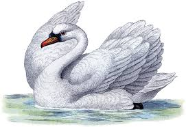 best free swan image the graphics fairy