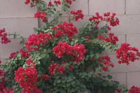 arizona flowers grow bougainvillea arizona gardening gardening