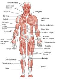 fresh muscular system 49 in anatomy of the human brain with
