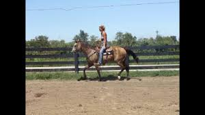 buckskin quarter horse mare been used at a large feedlot in texas