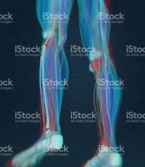 3d Human Anatomy Human Anatomy Male Tibia Shin Bone 3d Illustration Stock Vector