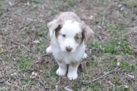 australian shepherd puppies near me view ad miniature australian shepherd puppy for sale kansas