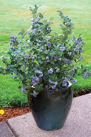 gardening trends 2017 gardening trends blueberries are an ideal ornamental and edible