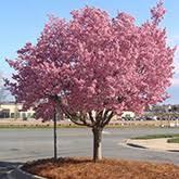 fast growing trees brighter blooms nursery