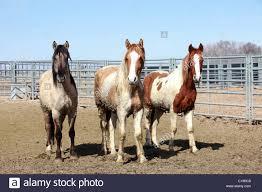 mustang adoption mustang horses in corral after roundup in utah and arizona