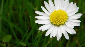 yellow daisy wallpapers cool daisy flower at yellow daisy flower stock photo single on