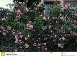 climbing roses trellis beautiful fence front of house stock photo