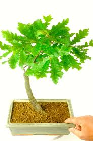 english oak bonsai tree quercus robur bonsai care