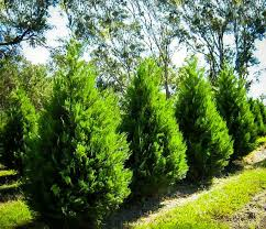 buy leyland cypress privacy trees arrive alive guarantee