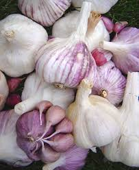 how and when to plant garlic growing for market