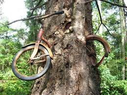 since this tree on vashon island wa has been slowly devouring this