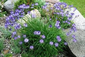 Rock Garden Perennials by Kb Rock Garden Plants M For Sale Rock Garden Plants M Hardy