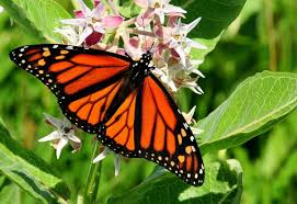 dicamba is hurting monarch butterflies scientists say st louis
