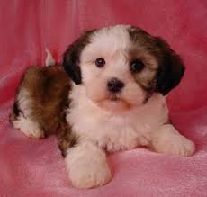 bichon frise dog breeders shih tzu bichon puppies puppy for sale healthy puppies iowa