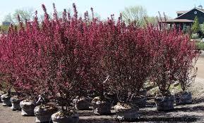 Profusion Flowering Crabapple - prairifire flowering crabapple wilson nurseries