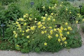 columbine plant denver gold columbine aquilegia chrysantha denver gold in