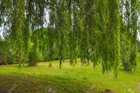 weeping willow ornamental tree aka salix babylonica or babylon