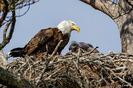 how golden and bald eagles are different buffalo bill center of