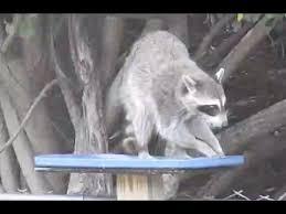 Raccoons In Backyard Raccoon In My Backyard Youtube