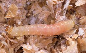 7 steps to get rid of indianmeal moths and weevils and beetles