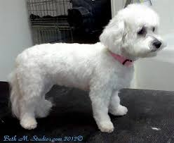 havanese vs bichon frise bichon lamb cut after with breed style haircuts for molly