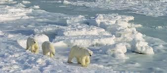 polar bear ecotourism polar bears international