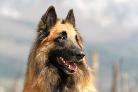 belgian sheepdog clipart belgian shepherd breed information pet365