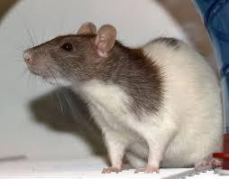 fancy rat wikipedia