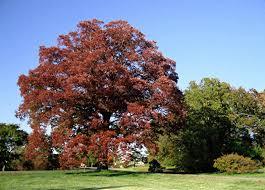 White Oak Leaf Swamp White Oak Tree In The Fall Front Backyard Ideas