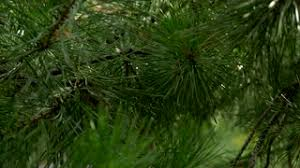 pine tree with green pine branches pine tree needle leaves