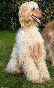 afghan hound breed afghan hound wallpaper puppy pictures breed info
