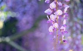 wisteria images hd desktop wallpapers 4k hd