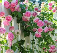 rose crazy in love pink trained on a trellis