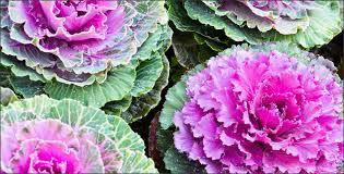 gardening how to grow ornamental kale
