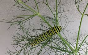 Caterpillar Vase Caterpillar Quiz How To Tell The Difference Between Monarchs And