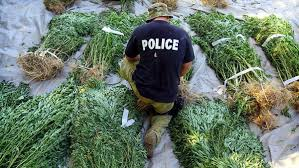native plants in california group gets busted growing a whole lot of pot on native american