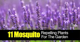 mosquito plants 11 mosquito repelling plants for the garden