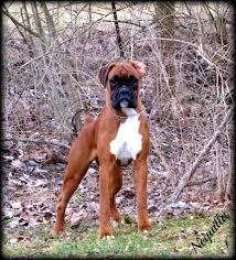 boxer dog european havenwoods naquilla