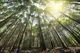 cedar trees with in the forest stock photo picture