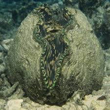 giant clam national geographic