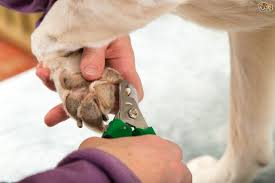 treating a split or broken nail in the dog pets4homes