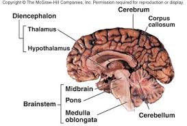 What Is The Main Function Of The Medulla Oblongata Multiple Choice Quiz 1