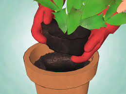 how to care for a christmas cactus 14 steps with pictures