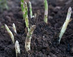 What Type Of Soil For Vegetable Garden Growing Asparagus Bonnie Plants