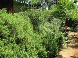 35 best images about california native landscaping on pinterest