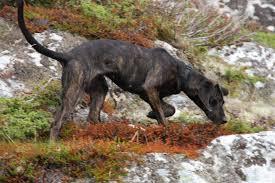 bluetick vs english coonhound how to train a bear hunting dog liveoutdoors