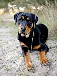 belgian shepherd labrador retriever mix 11 crazily cute rottweiler mixes you have to check out now