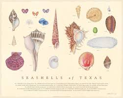 Where To Buy Seashells Texas Co Op Power Magazine Texas Stories Treasure From The Gulf