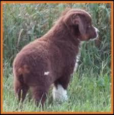australian shepherd newfoundland mini aussie pup for sale 2014 litter 5 callie pup 4 blue eyed