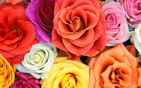 flowers roses adorable flowers and roses photos images of flowers and roses 34